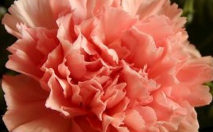 how to deadhead carnations garden guides