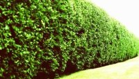 Tall Hedge Plants for Privacy | Garden Guides