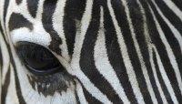 How to Paint Zebra Stripes on a Wall | HomeSteady