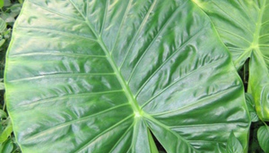 big leaf tropical plants