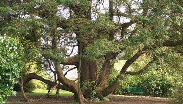 plant under cedar tree