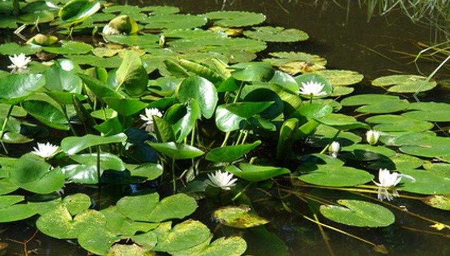 Aquatic Plants With Common Names  Wwwpixsharkcom