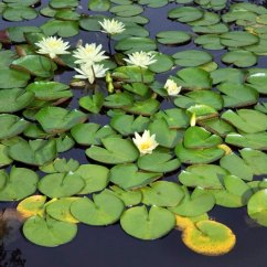 Lotus In Water Plant Diagram 2004 Chrysler Pacifica Fuse Box Lily Adaptations Sciencing