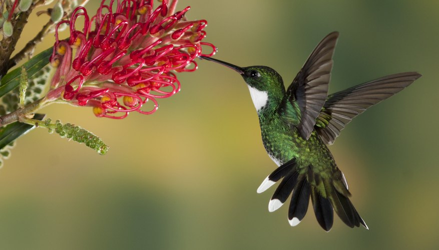 hummingbird diagram of color cervical vertebrae life cycle the sciencing a white throated