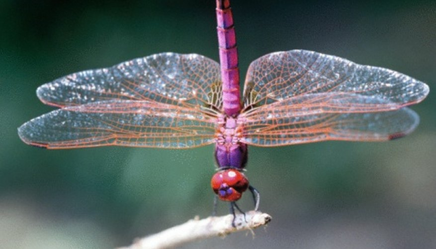 dragonflies eye diagram calibre water temp gauge wiring dragonfly characteristics sciencing are the largest insect species
