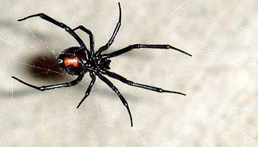 Los Angeles Spiders Types Poisonous