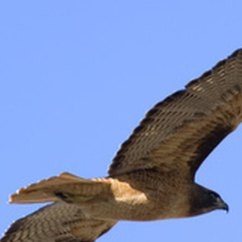 Desert Hawk Diagram 4ch Amp Wiring The Life Cycle Of Red Tailed Sciencing Hawks Have Hunted Skies Since 3000 B C