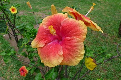 Essay On Hibiscus Flower Ivoiregion