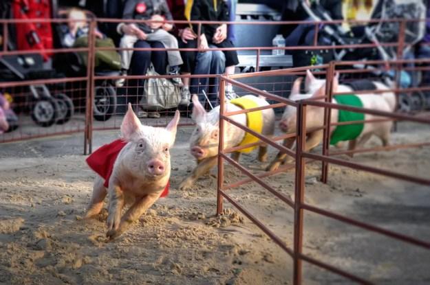 Pig Olympics