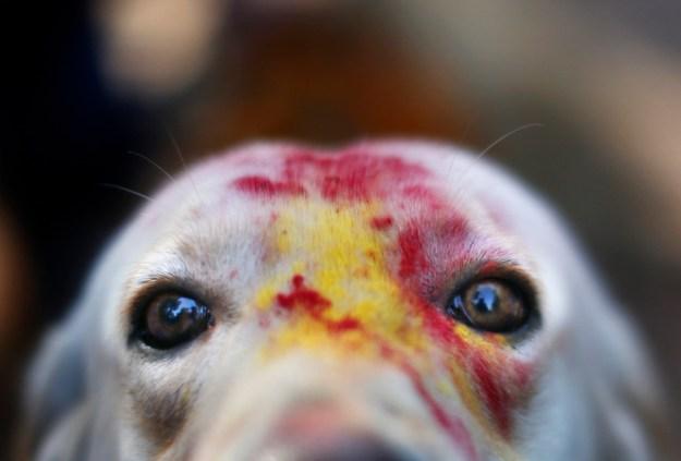 Nepal's Festival To Celebrate Dogs 9