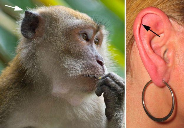 Dấu tích của Darwin   | 9 Bộ phận cơ thể không thực sự cần thiết | BrainBerries