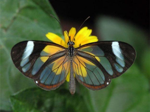 玻璃翼蝴蝶   脑浆果