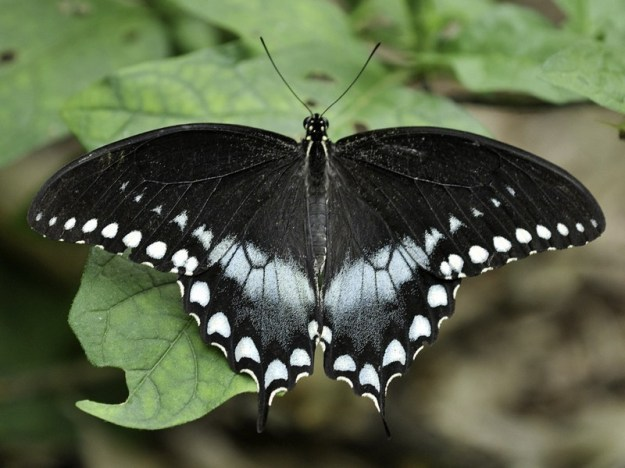 Spicebrush Swallowtails | The 7 Most Beautiful Butterflies In The World | BrainBerries