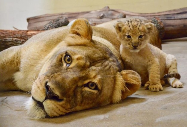 Bahati's mommy Lina | Disney's Live-Action Simba Was Based on the Cutest Lion Cub Ever! | Brain berries