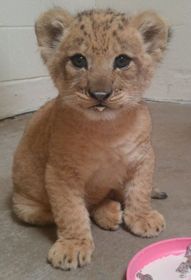 3D lion| Disney's Live-Action Simba Was Based on the Cutest Lion Cub Ever! | Brain berries