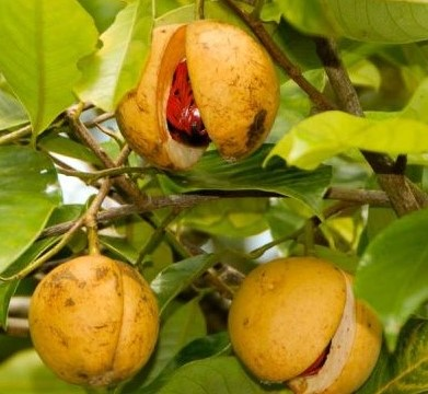 Nutmeg – $600/kg | Top 7 Most Expensive Spices | Brain Berries