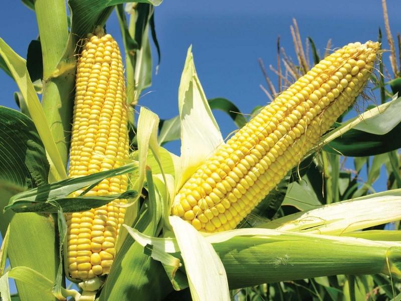 الذرة    6 الأطعمة الشائعة المعدلة وراثيا    التوت الدماغ