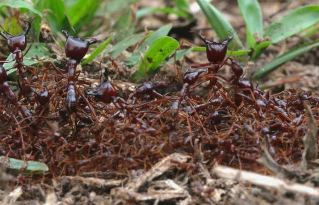 Driver Ants | The Deadliest Insects In The World | Brain Berries
