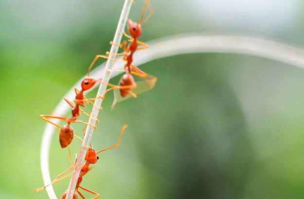 Fire Ants | The Deadliest Insects In The World | Brain Berries