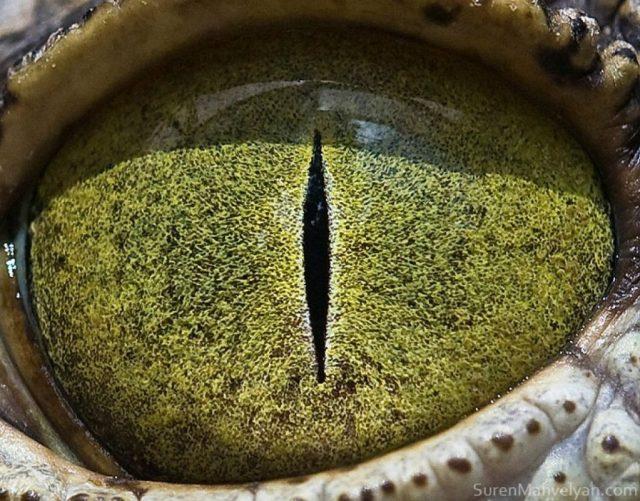 تمساح النيل |  مصور يكشف عن لقطات ماكرو لعيون الحيوانات وتبدو مبهرة |  زيسترادار