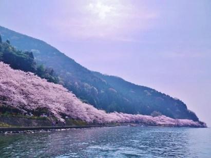 琵琶湖・海津大崎の桜のトンネル