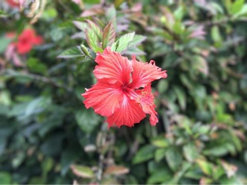 沖縄ハイビスカス