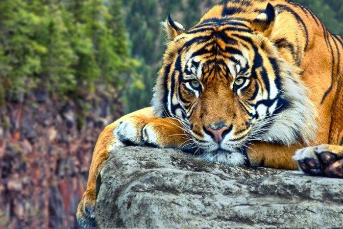 Самый дорогой Тигр в мире