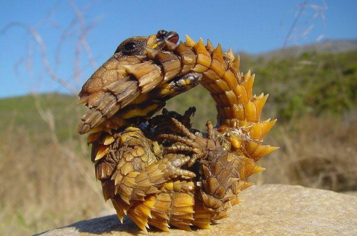 Поясохвост. Современный дракон. Точнее говоря, ящерица