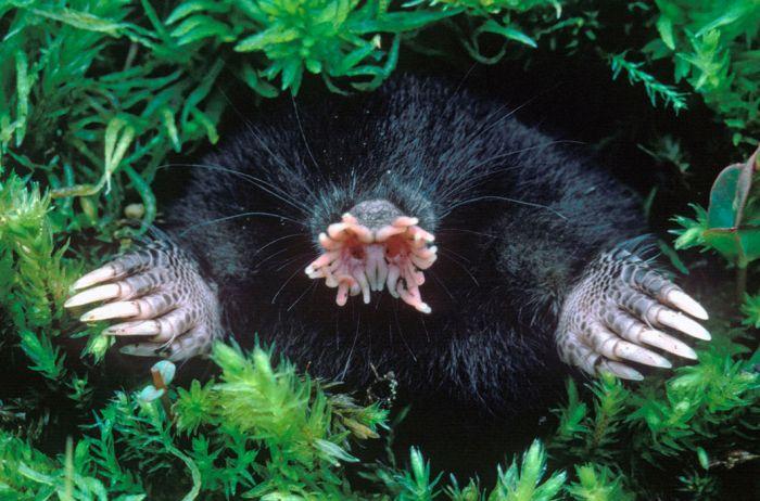 Звездонос — насекомоядное млекопитающее семейства кротовых. Отличается от остальных представителей семейства только ему свойственным строением рыльца в виде розетки или звезды