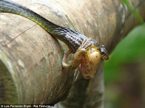 Змеиный обед   фото, нормальные для природы и шокирующие для цивилизованного человека