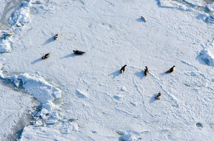 Тюлени на льду. Белое море, Архангельская область