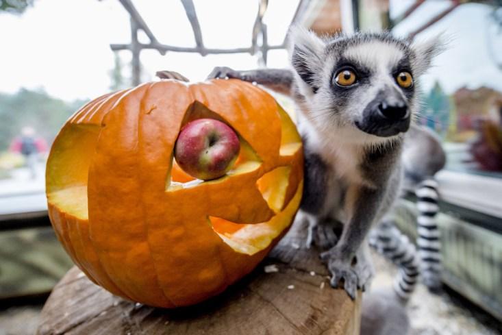 Лемуры готовятся к Хэллоуину в зоопарке в Чехии. (Фото David Tanecek)