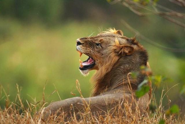 Африканские львы, львицы и львята: кровавые хищники в кругу семьи