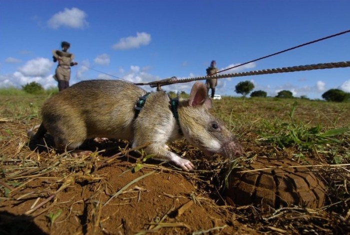 Как крысы саперы спасают Мозамбик