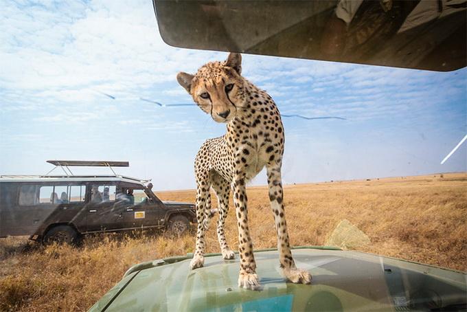 Любопытный леопард на фото из парка Серенгети