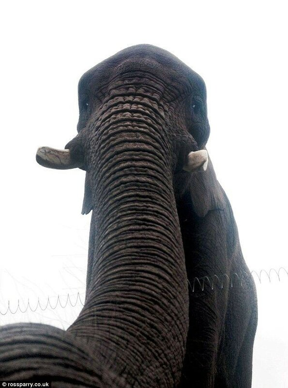 Слониха сделала первое в мире селфи (автопортрет) на iPhone