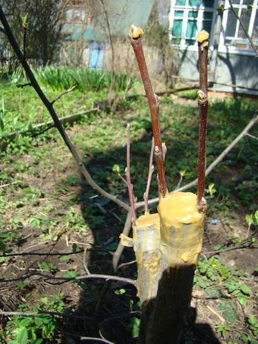 Прививаем плодовые растения одиночной почкой