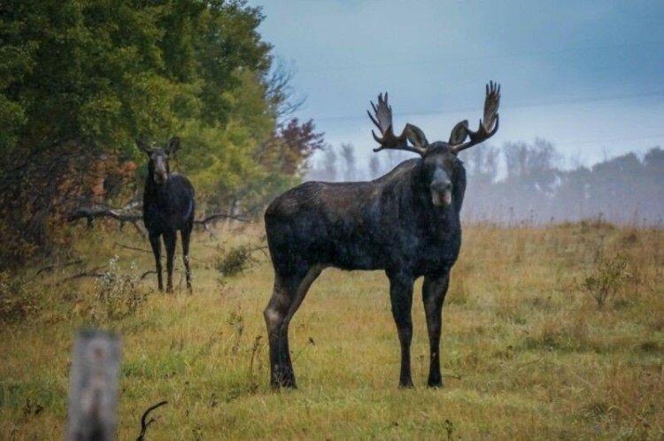 Лось: красивые фотографии лесного исполина