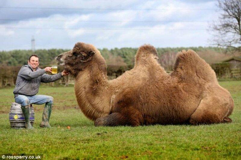 Не только люди, но и верблюд Джеффри обожает пить пиво!