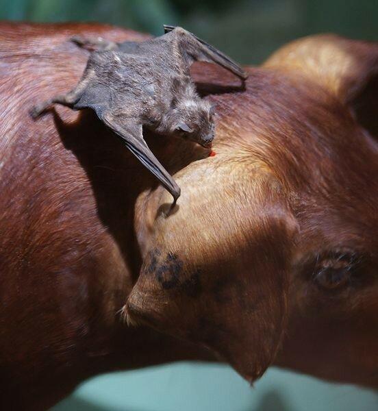 Почему летучие мыши вампиры не чувствуют горький вкус крови