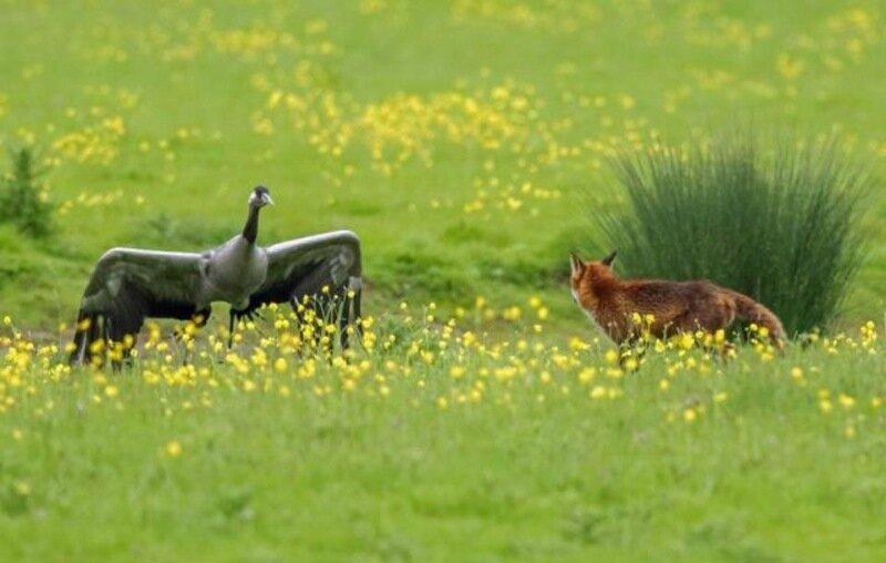 Неудачная охота хитрого лиса на журавлей: фото Angry Birds в реальной жизни