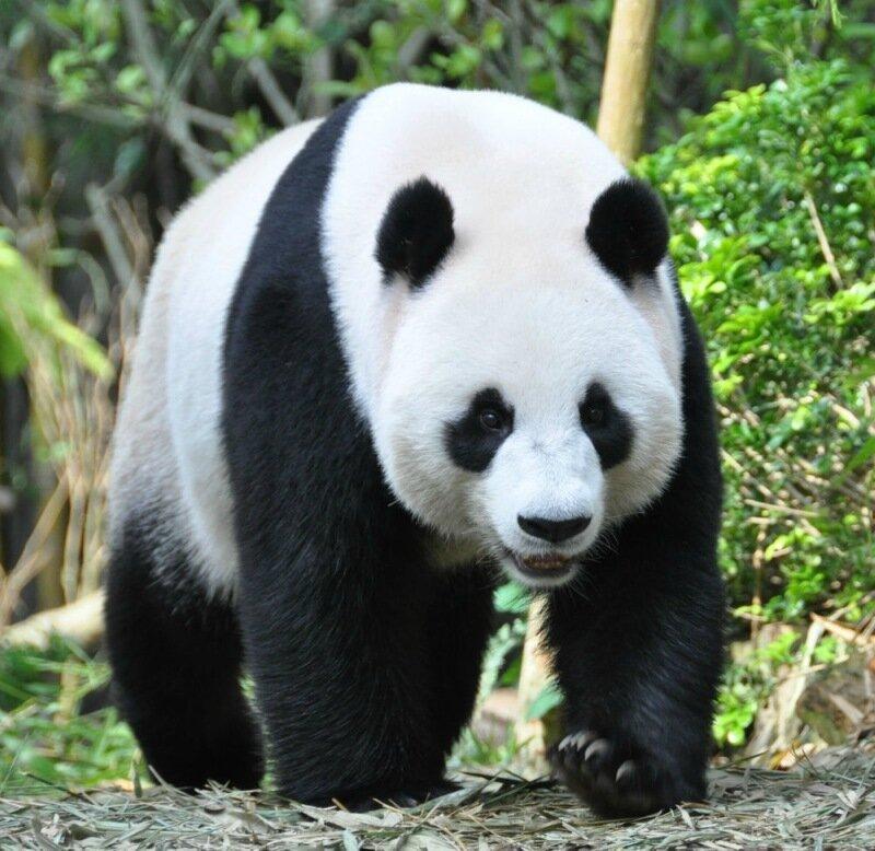 Китайская панда притворялась беременной, чтобы улучшить качество своей жизни