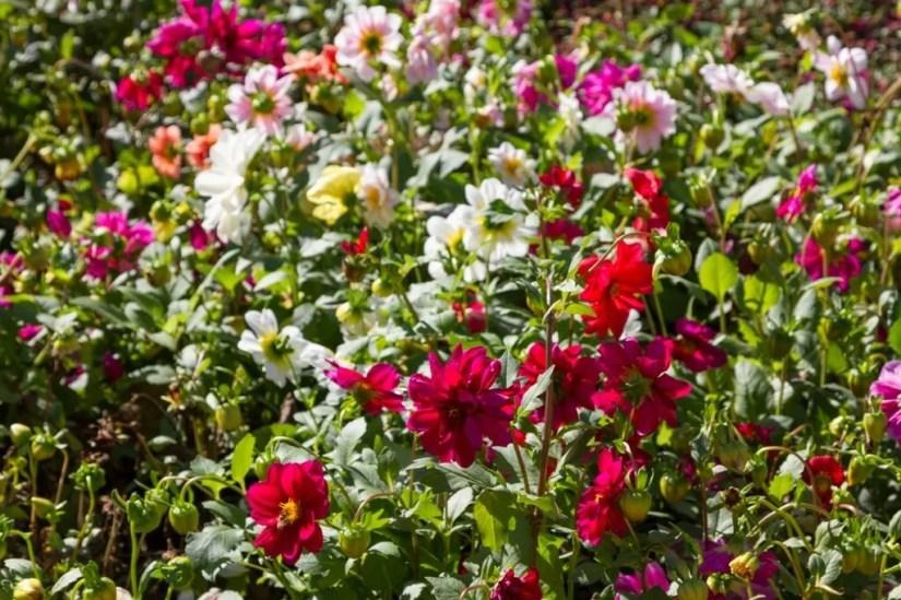 Разноцветье хризантем