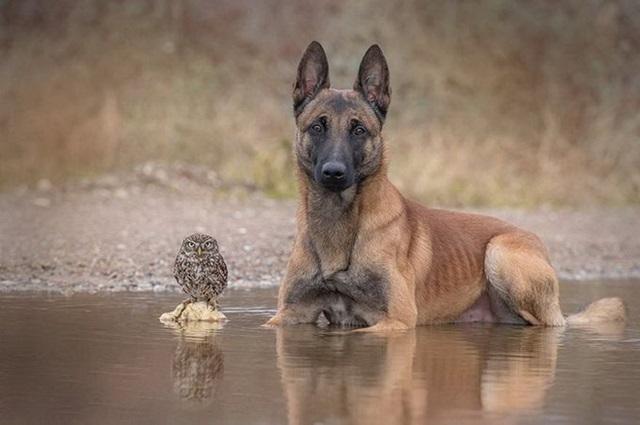 Фотографии дружбы совы и овчарки (Tanja Brandt)