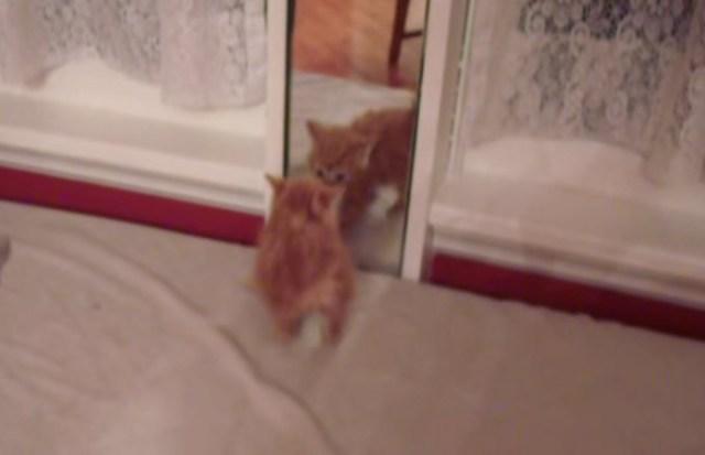 Видео. Котенок впервые видит свое отражение в зеркале