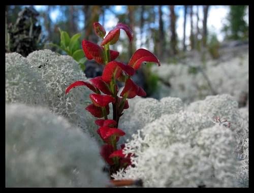 Северная растительность.jpg