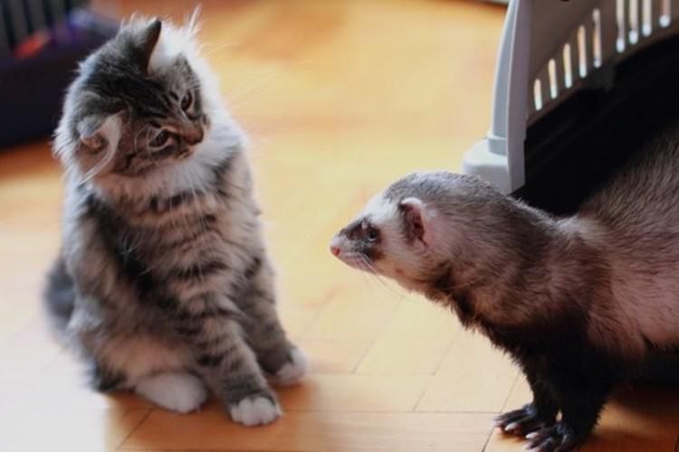 Видео. Драка хорька и котенка за корзину