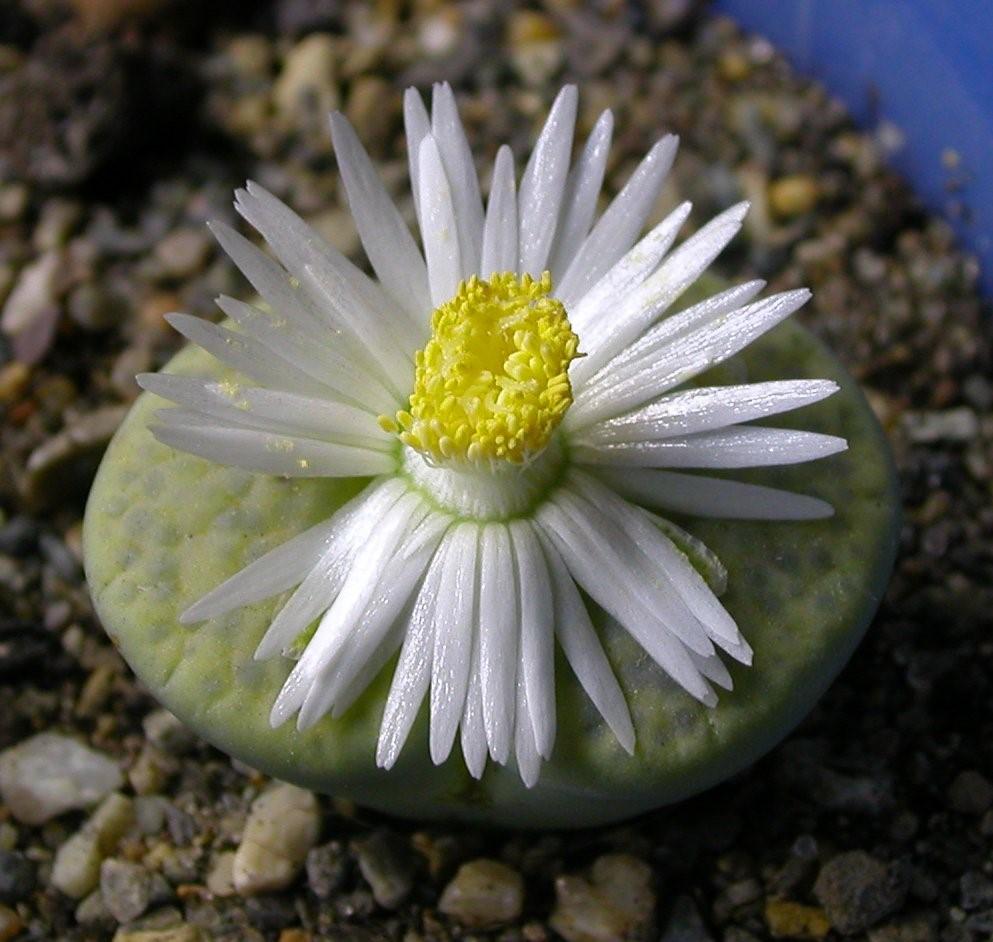 Знакомимся с удивительным растением литопс