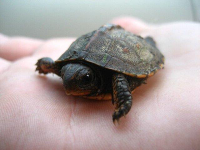 Малыши черепашки, которые умещаются на ладони: фотографии