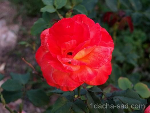 пахнущие сорта роз